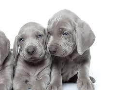 affenpinscher puppies for sale in ohio weimaraner puppies for sale akc puppyfinder