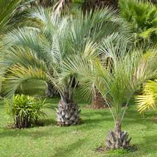 palm trees cold hardy palm trees fast growing trees