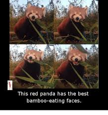 Red Panda Meme - this red panda has the best bamboo eating faces meme on esmemes com