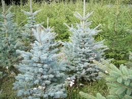 christmas trees christmas trees for sale green plantation u0027pino u0027