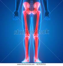 3d Knee Anatomy Human Body Bone Joint Pains Anatomy Stock Illustration 571000810