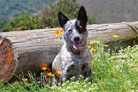 australian shepherd haircuts australian cattle dog breed information pictures characteristics