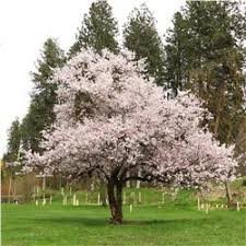 Flowering Cherry Shrub - autumn flowering higan cherry tree on the tree guide at arborday org