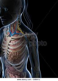 Female Anatomy Image Female Digestive System Stock Photos U0026 Female Digestive System