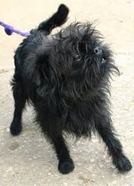 affenpinscher terrier mix 103 best affenpinschers images on pinterest brussels bananas