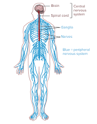Picture Diagram Of The Human Body Overview Of Neuron Structure And Function Article Khan Academy