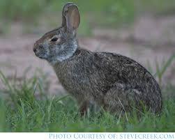Louisiana wildlife images Rabbit louisiana department of wildlife and fisheries jpg