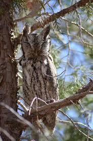 eastern screech owl in a tree pics4learning