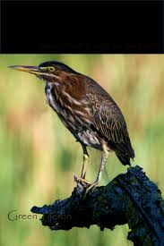 Michigan birds images Green heron michigan bird dialog with nature jpg