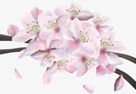 pink cherry blossoms pink cherry blossoms design png and vector