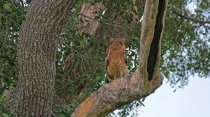 brown fish owl on tree branch in yala national park sri lanka