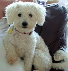haircutsfordogs poodlemix image result for poodle haircuts bichon zoe haircuts pinterest