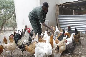 Keeping Free Range Chickens In Your Backyard Why I Keep My 300 Chicken Free Range Chicken Daily Nation