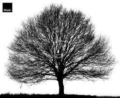 black oak tree quercus petraea isolated on white trees on