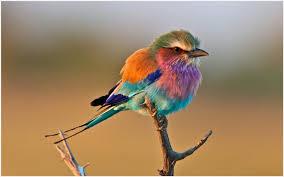 bird wallpaper roller bird wallpaper roller bird wallpaper 1080p roller bird