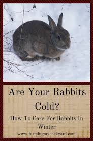 are your rabbits cold how to care for rabbits in winter farming