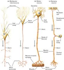chandelier cells the science the anatomy of a neuron