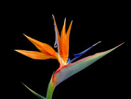 bird of paradise flower flowers tulips bird of paradise