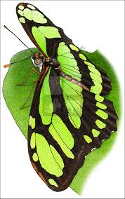 malachite butterfly siproeta stelenes line art and full color