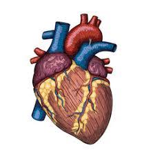 heart human body anatomy sketch royalty free vector image