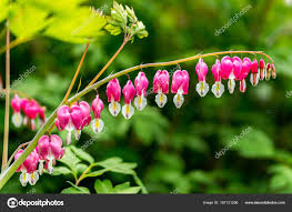 bleeding heart flower bleeding heart flower stock photo aaron90311 167121296