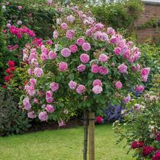 Fragrant Climbing Plant - most fragrant climbing rose harlow carr most fragrant
