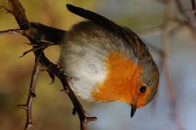 famous robins leighton moss leighton moss the rspb community