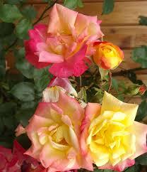 masquerade climbing rose