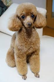 haircutsfordogs poodlemix 672 best poodles images on pinterest poodles pets and poodle cuts