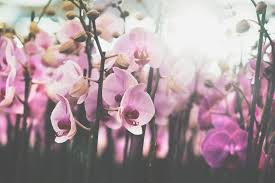 Orchids Facts by Phalaenopsis Facts Stolk Flora