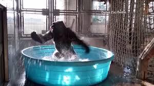 dancing gorilla shows off u0027splashdance u0027 routine at dallas zoo