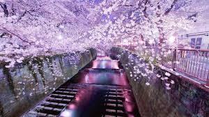 tokyo cherry blossom walldevil