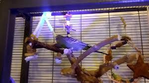 uv light for birds budgies under uv light youtube