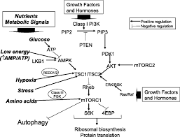 diet autophagy and cancer a review cancer epidemiology