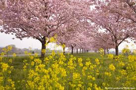minami no sakura cherry blossoms zekkei japan