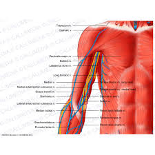 Shoulder And Arm Muscles Anatomy Shoulder Arm Elbow Anterior View Superficial Muscles Blood
