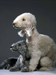 grooming a bedlington terrier puppy yes it is a dog bedlington terrier are known for their