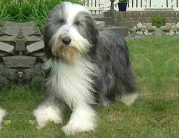 lifespan of australian shepherd life span of bearded collie
