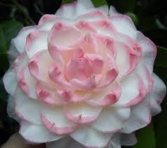 camellia flowers camellia japonica something beautiful camelia