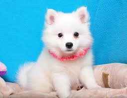 american eskimo dog japanese spitz difference american eskimo dog breed summary shake a paw shake a paw