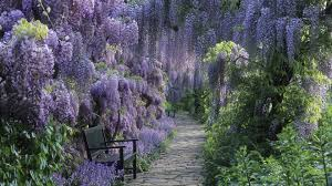 wisteria tree blue wallpaper