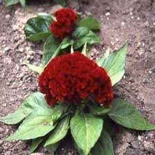 celosia flower cockscomb seeds celosia flower seeds