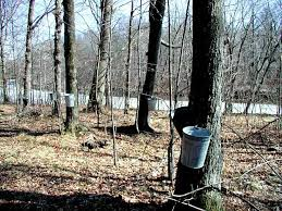 how warm weather affects sap collection in maple trees wisconsin