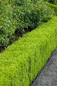 top 10 best plants for hedges and how to plant them hedging