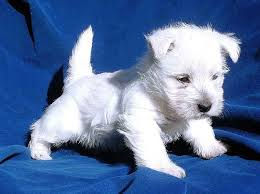 bichon frise cute 49 most popular bichon frise dog names