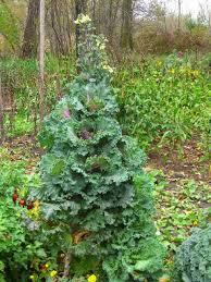 ornamental cabbage kale theeasygarden