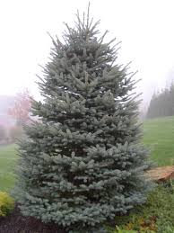 blue spruce gallo company inc blue spruce trees