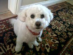 bichon frise z hter hessen my dad had a pet monkey why can u0027t i d grad present for the