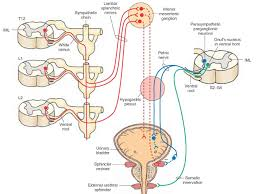 parasympathetic innervation of the urogenital area urinary