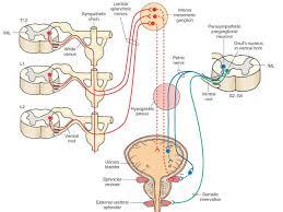parasympathetic innervation of the urogenital area urinary